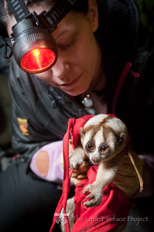 Collaring a Javan slow loris