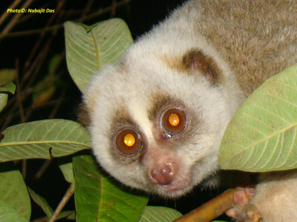Bengal slow loris by Nabajit Das