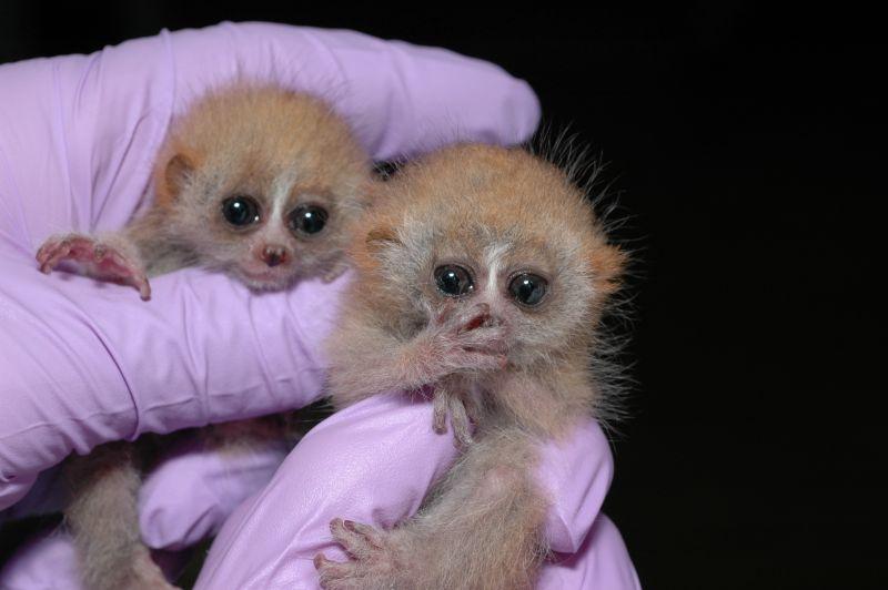 Pygmy slow loris babies by David Haring, Duke Lemur Centre