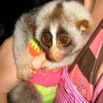 Bengal slow loris tourist photo fromThailand