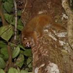 A bornean loris gouging by Rachel Munds