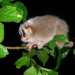 Baby Hill's slow loris in Aceh