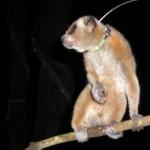 Mr Darcy the pygmy with his radio collar