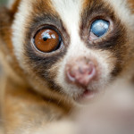 Lasting damage to One-Eye from slow loris fight.