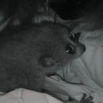 Pygmy calm in lap!
