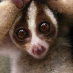 Javan slow loris in defensive posture