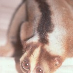 Short coated Javan loris from market