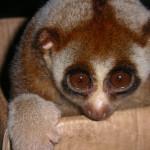 Coucang Bengal hybrid Singapore Zoo