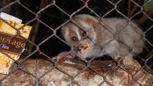 Infant loris learning to gauge gum in Cikananga