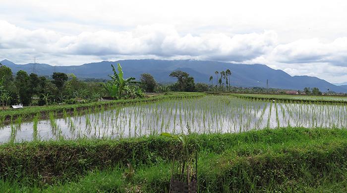 Rice-field_Melissa-Anderton