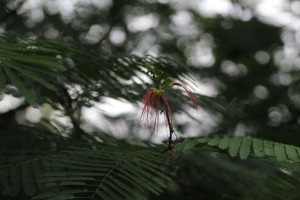 - a Calliandra calothrysus inflorescence in bloom