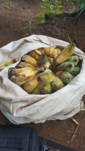 - The best bananas in Sams life.