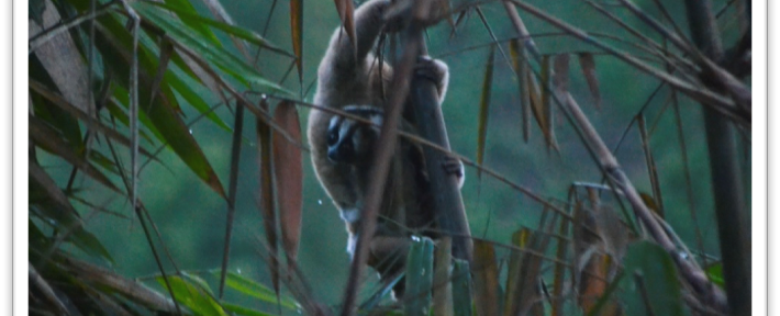 My Wonderful Experience with Javan Slow Loris at the Little Fireface Project – Carala Rosadi